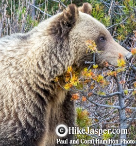 Grizzly Bear Subadult near Jasper in 2018