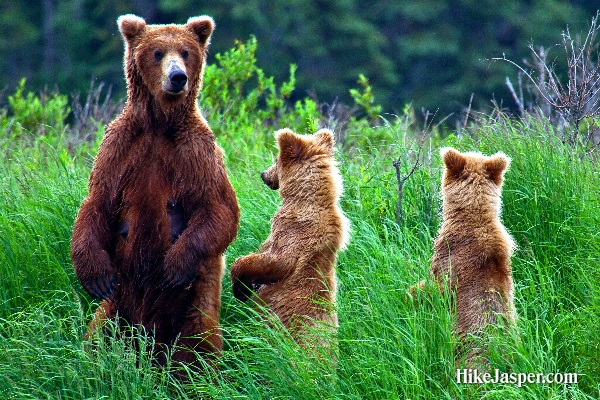 Grizzly Bear and Cubs Sighting - Hike Jasper