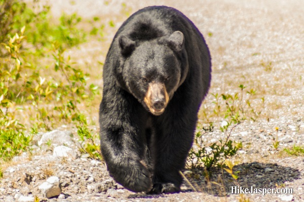 June 2017 Black Bear Approaches - Hike Jasper