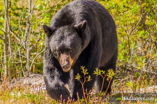 June 2017 Black Bear Encounter - Hike Jasper
