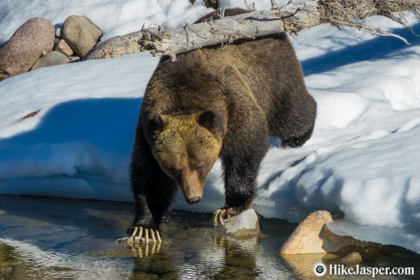 Large Male Grizzly Bear Coming out of Hibernation in 2018 - Hike Jasper