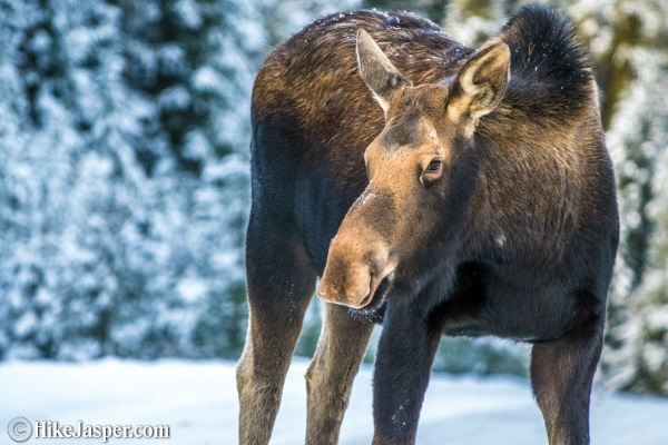 Moose encounters at Maligne Lake - Hike Jasper