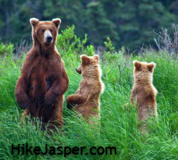 Grizzly Bear sightings are less likely, but possible on Jasper hiking trails